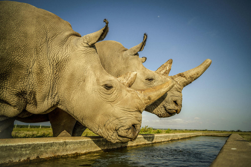 Literally unique: These two rhinoceros cows, Najin (left) and Fatu, are the last northern white rhinoceroses in the world. Since all the bulls have died off, researchers are taking an innovative tack to harvest reproductive cells.