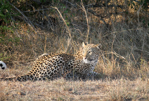 The highlight of their safari at Kruger National Park: a leopard on the prowl.