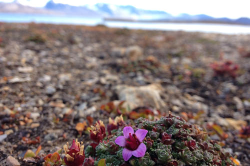 Janna Einöder's research project: The purple mountain saxifrage (Saxifraga oppositifolia) is one of Spitsbergen's fascinating floras.