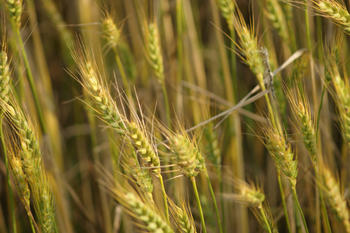 Barley was one of the first domesticated plants in the Neolithic Age.