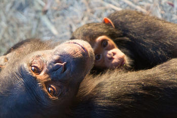 In Chimfunshi students and scientists can observe the behavior of chimpanzees from close up.