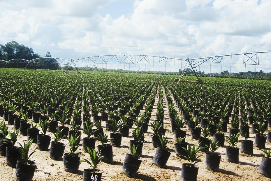 Palmöl Plantage